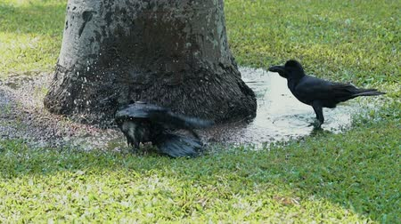 grey eyes : Black crow enjoying water bathing in a garden on a hot sunny day. Slow motion nature footage.