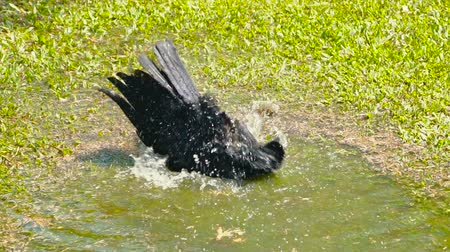 flapping : Black crow enjoying water bathing in a garden on a hot sunny day.