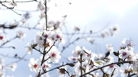 bermudas : Spring. The flowering tree. Wild almond blossoms in Spain Stock Footage
