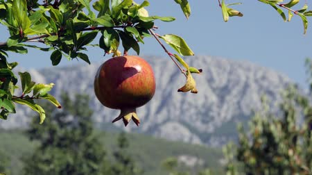 Ripe organic pomegranate tree on the mountains background