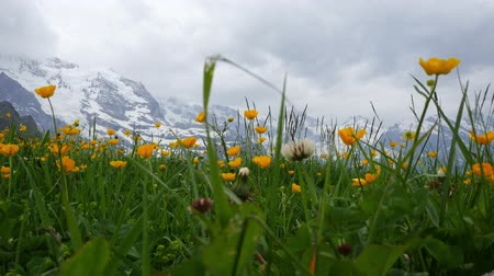 Alpine flowers. Wengen, Switzerland