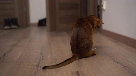rövidszőrű : Abyssinian cat playing on the floor in a room chasing mouse.