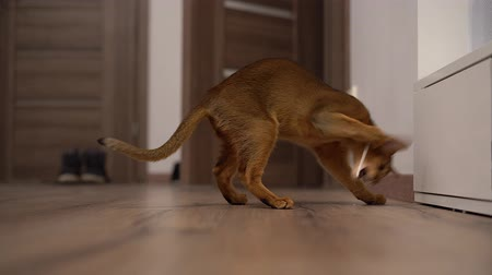 kittens playing : Abyssinian cat playing on the floor in a room chasing mouse.