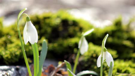 krokus : Snowdrops in the snow,spring snowdrops with snow,snowdrops flowering growing in moss
