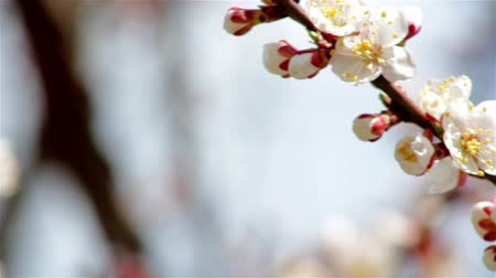 śliwka : Pink cherry flowers blooming in springtime.Beautiful blooming cherry twig in spring