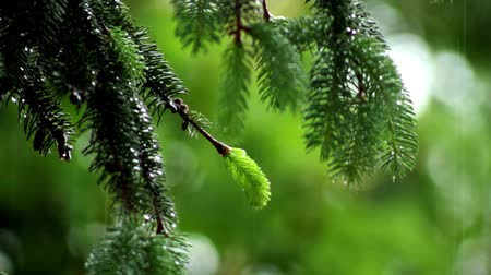 harmonia : rain in the spruce forest, in the rain forest Wideo