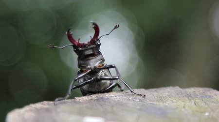stag beetle : Insect stag beetle.Beetle deer in the wild.