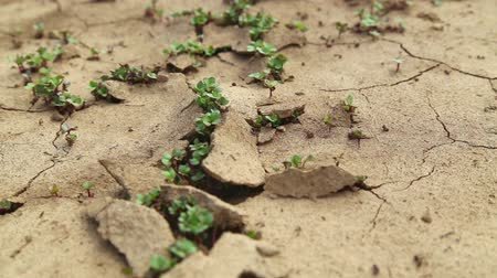 засуха : Dry cracked soil during a drought, Plants make their way during a drought Стоковые видеозаписи