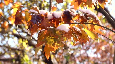 queda de neve : Autumn maple leaves in the snow. The first snow in the autumn park.