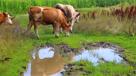 domestic animals : Herd of cows grazing in the meadow.Industrial grazing farm animals.
