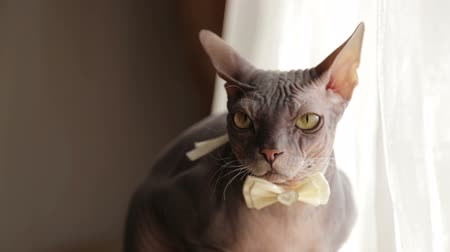 prowl : My favorite cat friend of the bride. Shorthair cat sphinx on a holiday. Festive wedding cat. Stock Footage