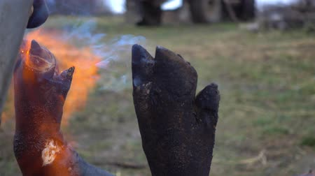 mangalitza : Treatment of pig mascara with a blowtorch fire. Traditional village of pig slopes in eastern European countries video 4k.