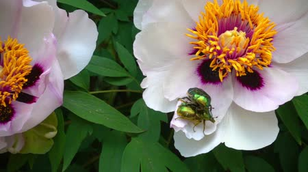 slowing : Insect and bees on the flower of a peony in a flower pollen. May insect and bees on a tree like pion. Slow motion shooting of 120 fps. Stock Footage