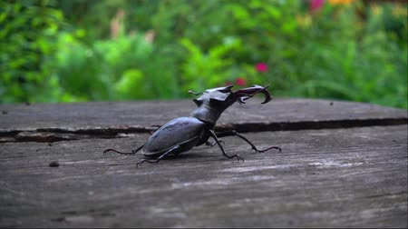 кора : A insect in the park on a wooden table. A beautiful insect crawls along the table.