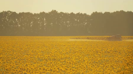 weeding : The tractor sprinkles field with a sunflower. The sprayer processes the pesticide plantation helianthus plantation, close up. Stock Footage