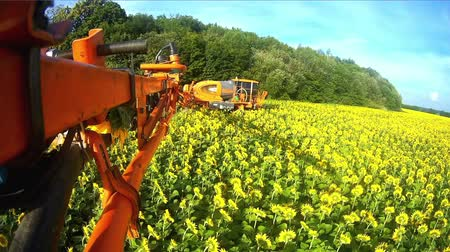 sow : View from the camera on the rod sprayer blooming sunflower. Videography of the operating sprayer in the field of the sunflower.