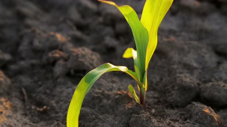 肥沃 : Young corn saplings in the field. Industrial cultivation of corn on farms. 動画素材