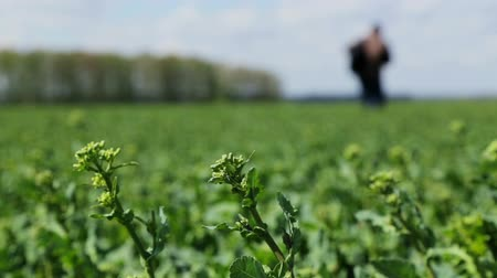 soy : A farmer agronomist in rapeseed examines the germination of sprouts. Agronomist walking in the field Stock Footage
