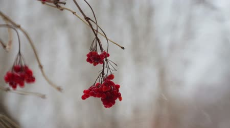 backround : Fruits of viburnum in snowfall. Fruits of berries on a branch in winter. Stock Footage
