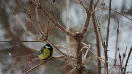 backround : Bird tit in winter in the bushes. In the park. Stock Footage