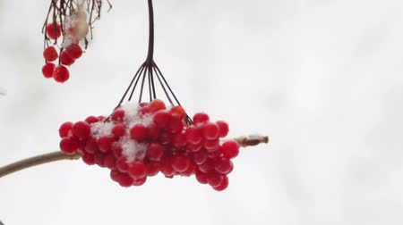 noel zamanı : Fruits of viburnum in snowfall. Fruits of berries on a branch in winter. Stok Video
