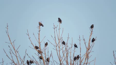 szpak : European bird Sroc sits on the branches of a tree. Starlings sit on top of a tree in spring.