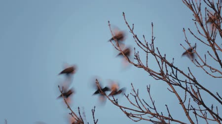szpak : Fly away. European bird Sroc sits on the branches of a tree. Wideo