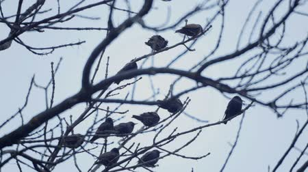 starling : European bird Sroc sits on the branches of a tree. Starlings sit on top of a tree in spring.