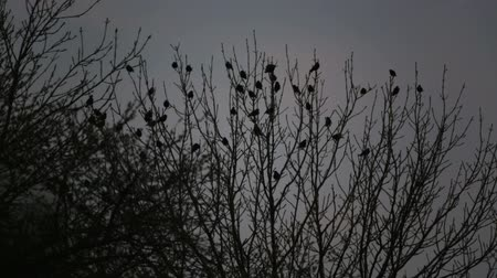 starling : Fly away. European bird sits on the branches of a tree. Stock Footage
