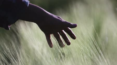 verim : Close-up, blur. Blurred hand of a girl in the ears of wheat.
