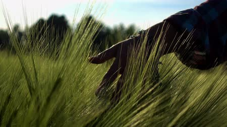 verim : Female hand closeup strokes ears of wheat. Sunset girl, stroking the ears of corn. Stok Video