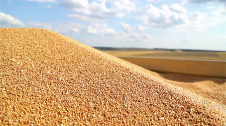 agro : Combine harvester unloads grain in the box. Unloading wheat seeds