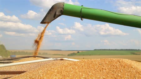 combinar : Combine harvester unloads grain in the box. Unloading wheat seeds