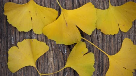 biloba : Composition of ginkgo biloba leaves on the table. Ginkgo biloba leaves on a texture board.