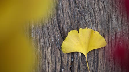 homeopathic : Composition of ginkgo biloba leaves on the table. Ginkgo biloba leaves on a texture board.