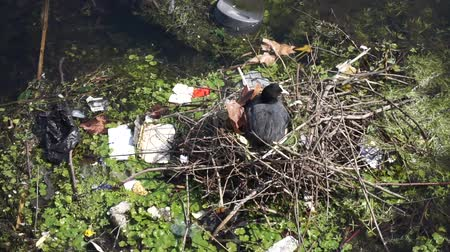 ambientalmente : A moor hen on its nest surrounded by plastic waste on a river