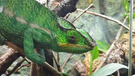 hagedis : Close up of a bright green chameleon Stockvideo