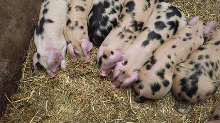 small group of animals : A row of cute piglets resting in a pig pen Stock Footage