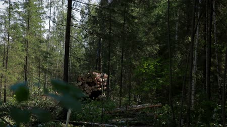 fatörzs : Feller Buncher drives through clearing in forest