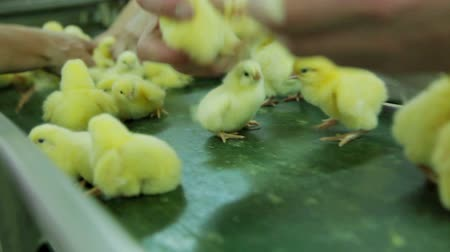 farm equipment : Sorting Small chicks in Factory Stock Footage