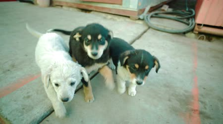 cimborák : Group of small arborennly unbroken dogs puppies