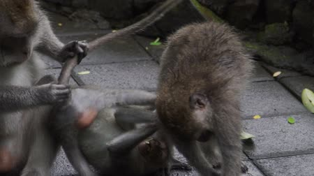 crab eating macaque : Monkey Family playing on floor in Monkey Forest Bali in slow motion Stock Footage