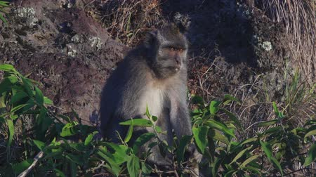 crab eating macaque : Monkey sitting on lava rock in volcano Batur Bali Indonesia Stock Footage
