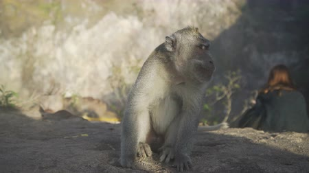 crab of the woods : Monkey sitting near turist in mountain Batur Bali Indonesia