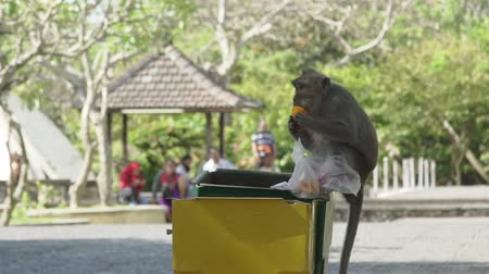 crab eating macaque : Monkey eatting on garbage bug in Bali Indonesia Stock Footage
