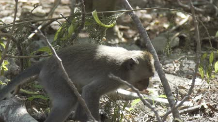 crab of the woods : Monkey walking between trees in forest