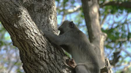 crab eating macaque : Monkey is eating in Tree