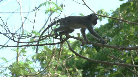 crab eating macaque : Monkey jumping from tree to tree. Slow motion