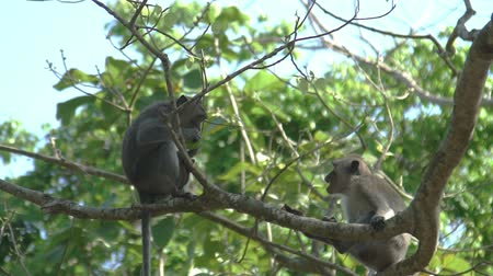 crab eating macaque : Monkeys are sitting in Tree