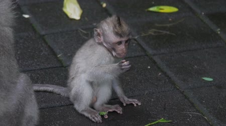 crab eating macaque : Little monkey kid sitting on floor and eating in Monkey Forest Bali Indonesia